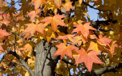 Sweetgum branches in the fall wallpaper