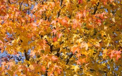 Sweetgum foliage in the fall wallpaper