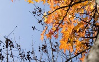 Sweetgum leaves in the fall wallpaper 3840x2160 jpg