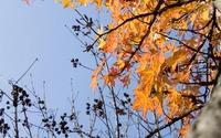 Sweetgum leaves in the fall wallpaper 3840x2160 jpg