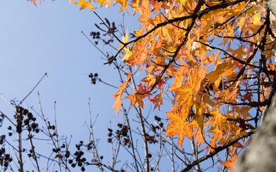 Sweetgum leaves in the fall wallpaper
