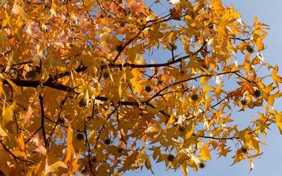 Tall sweetgum tree in autumn wallpaper