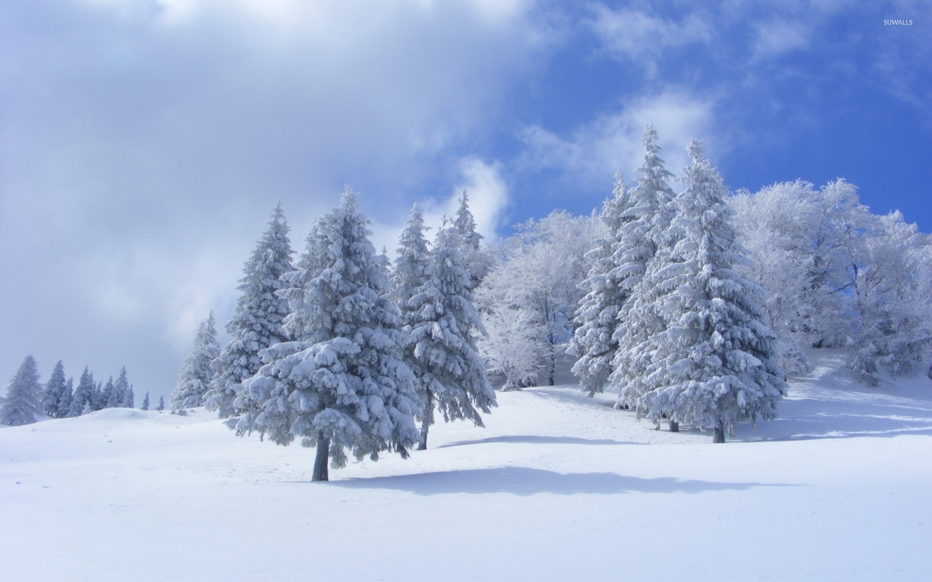 Thick Snow On Pine Trees Wallpaper Nature Wallpapers 36216