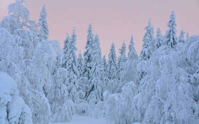 Thick snow on trees Wallpaper