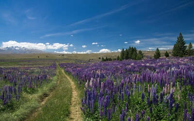 Trail through the lupine field wallpaper