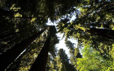 Trees from below Wallpaper
