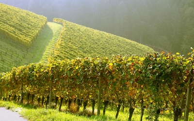 Vineyard on the hill wallpaper