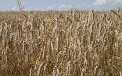 Wheat field [13] wallpaper