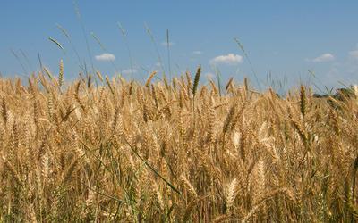 Wheat field [12] wallpaper