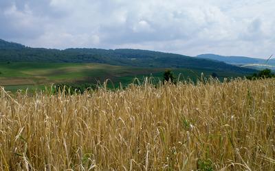 Wheat field on the hillside wallpaper