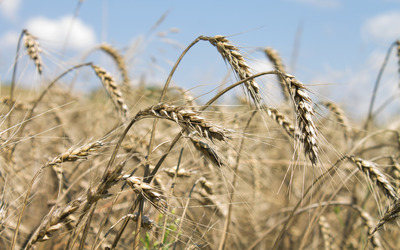 Wheat spikes [2] wallpaper