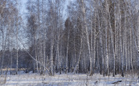 Winter birch forest wallpaper 3840x2160 jpg