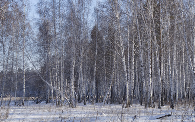 Winter birch forest wallpaper
