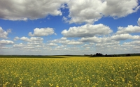 Yellow flowers on the field under the fluffy clouds wallpaper 2560x1600 jpg