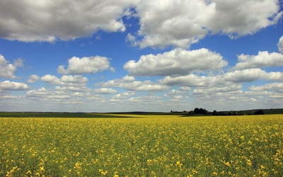 Yellow flowers on the field under the fluffy clouds wallpaper
