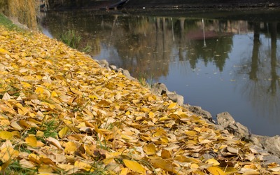 Yellow leaf carpet by the river wallpaper