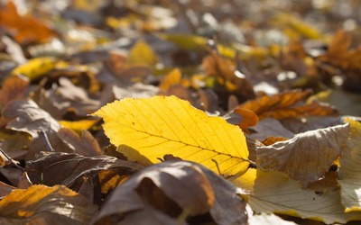 Yellow leaf in the sunshine wallpaper