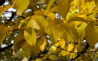 Yellow leaves in the soft sunlight wallpaper 2880x1800 jpg