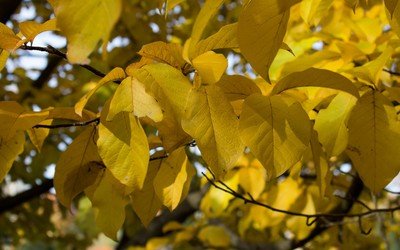 Yellow leaves in the soft sunlight wallpaper
