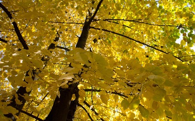 Yellow linden branches wallpaper