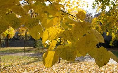 Yellow linden leaves wallpaper
