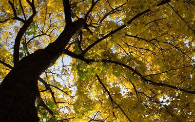 Yellow maple branches wallpaper