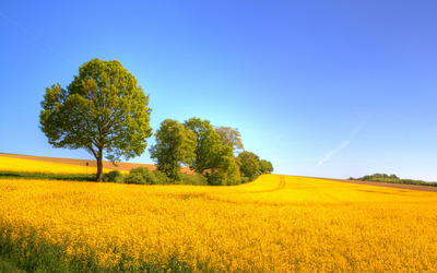 Yellow rapeseed field wallpaper