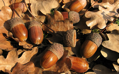 Acorns [3] wallpaper