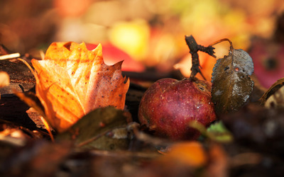Apple among fallen leaves wallpaper