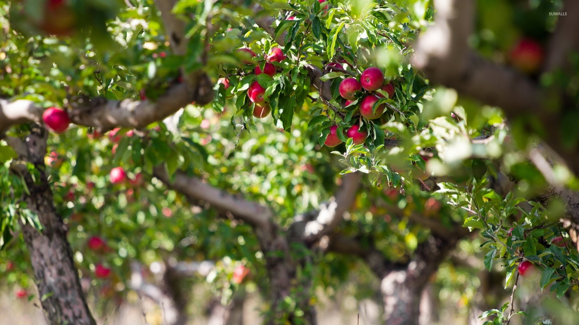 Apple Tree Wallpaper Photography Wallpapers 35041