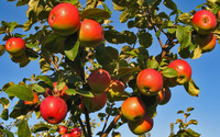 Apples in tree wallpaper 2560x1600 jpg