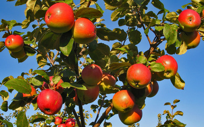 Apples in tree wallpaper
