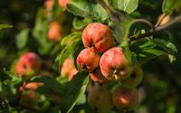 Apples on a branch wallpaper 3840x2160 jpg
