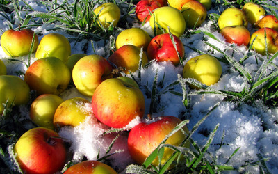 Apples on icy grass Wallpaper
