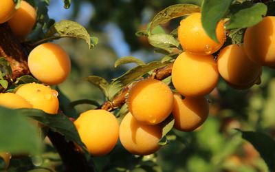 Apricots in a tree wallpaper
