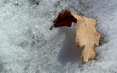 Autumn leaf on snow Wallpaper