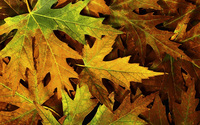 Autumn leaves [5] wallpaper 2560x1600 jpg