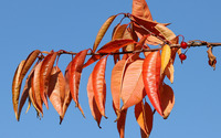Autumn leaves and red fruits wallpaper 2560x1600 jpg