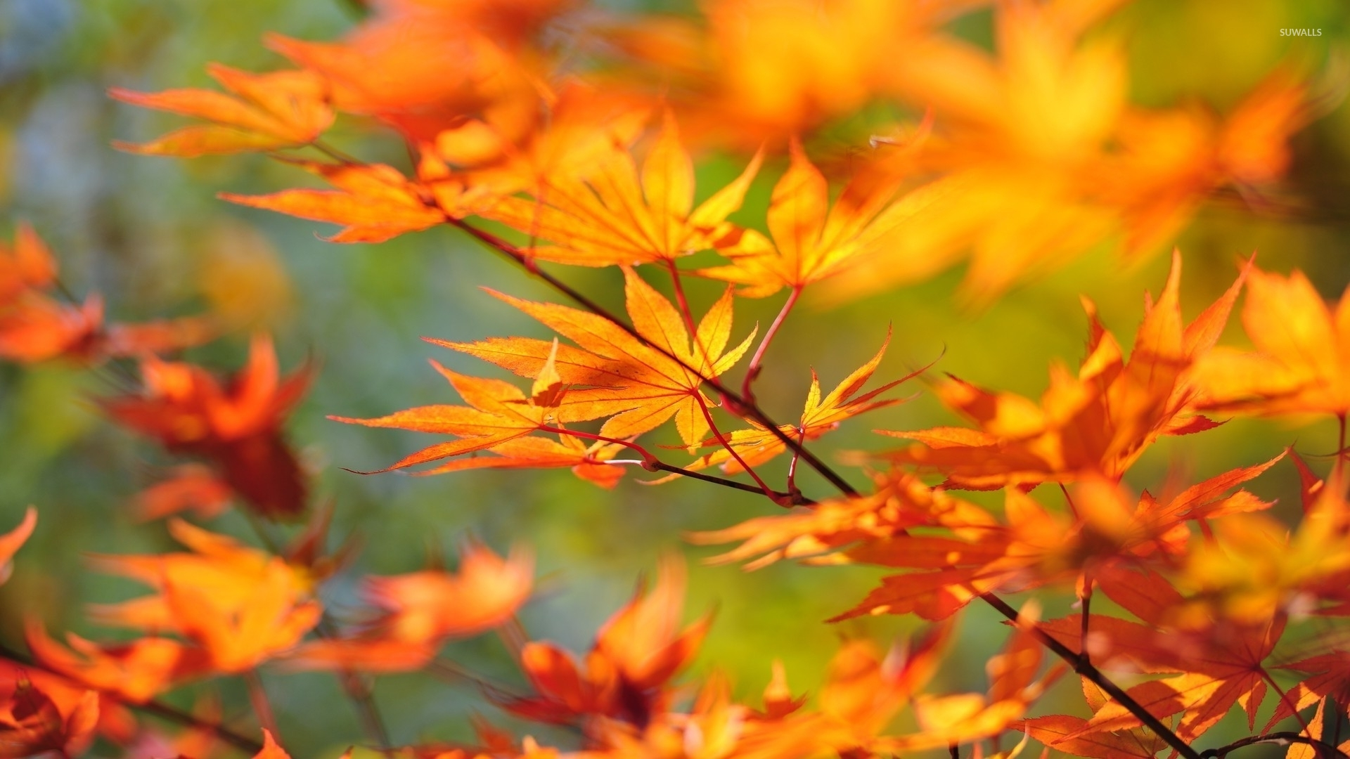 Autumn Leaves On A Branch Wallpaper Photography Wallpapers