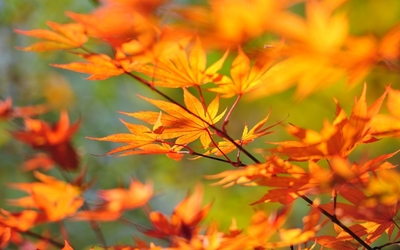 Autumn leaves on a branch wallpaper