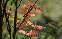 Autumn leaves on a branch [2] wallpaper 1920x1200 jpg