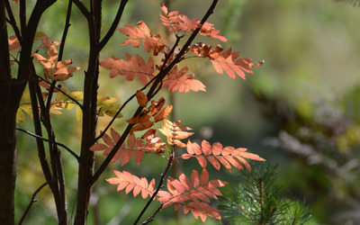 Autumn leaves on a branch [2] wallpaper