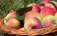 Basket full of apples wallpaper 3840x2160 jpg