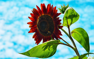 Bee on red sunflower wallpaper