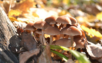 Brown mushrooms [3] wallpaper 2880x1800 jpg