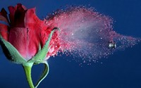 Bullet through a rose wallpaper 1920x1200 jpg
