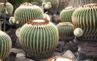 Cactuses wallpaper 1920x1200 jpg