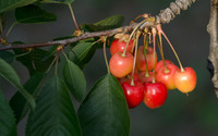 Cherries on a branch wallpaper 3840x2160 jpg