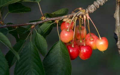 Cherries on a branch wallpaper