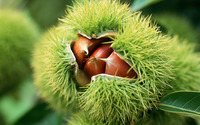 Chestnut [2] wallpaper 1920x1200 jpg